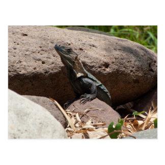 Pequeña iguana en las rocas; Ningún texto Postales