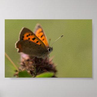 Pequeña mariposa de cobre posters