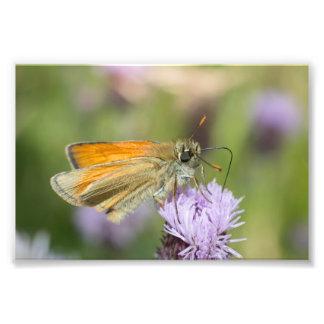 Pequeña mariposa del capitán impresiones fotograficas
