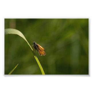 Pequeña mariposa del capitán impresión fotográfica
