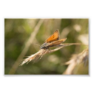 Pequeña mariposa del capitán cojinete