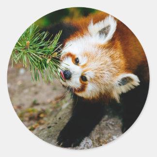 Pequeña panda roja con el helecho - fotografía pegatina redonda
