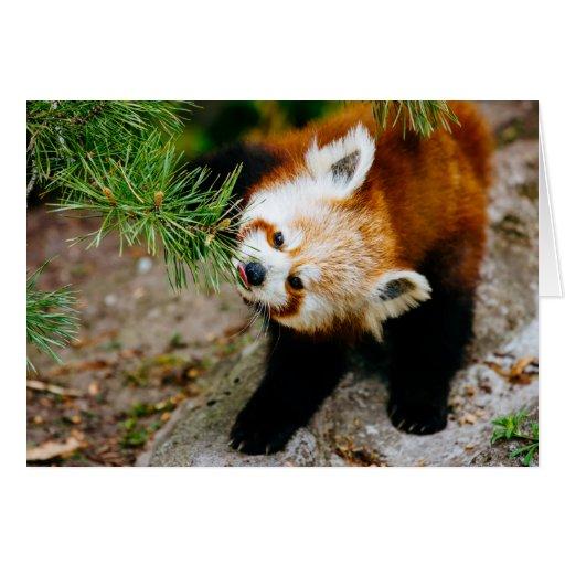 Pequeña panda roja con el helecho - fotografía tarjeta de felicitación