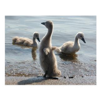 Pequeña postal de los cisnes