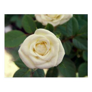 Pequeña postal del rosa blanco