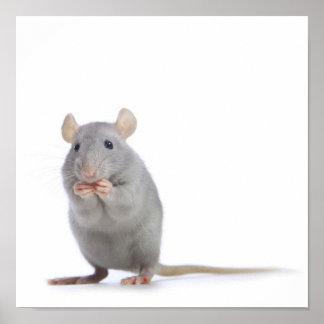 Pequeña rata póster