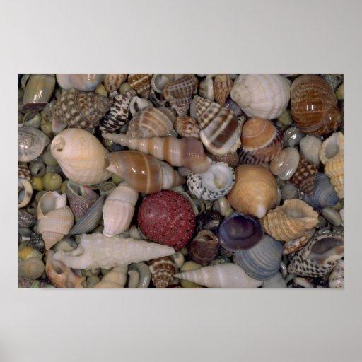 Pequeñas cáscaras Shell Póster