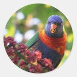 Pequeño arco iris Lorrikeet Etiqueta Redonda
