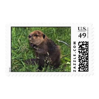 Pequeño castor lindo sellos postales