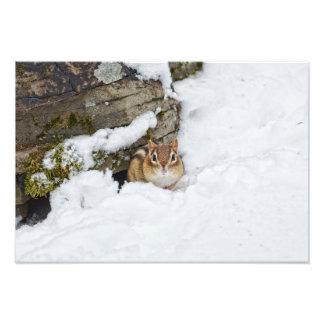 Pequeño Chipmunk frío en la nieve Fotografía