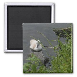 pequeño cisne perdido iman