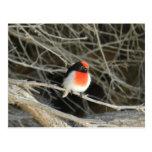 pequeño pájaro del redbreast del petirrojo que se postal