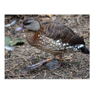 pequeño pájaro que camina del pato marrón y blanco tarjetas postales