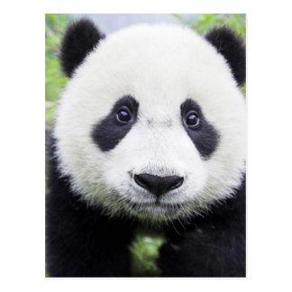 Pequeño panda tarjeta postal