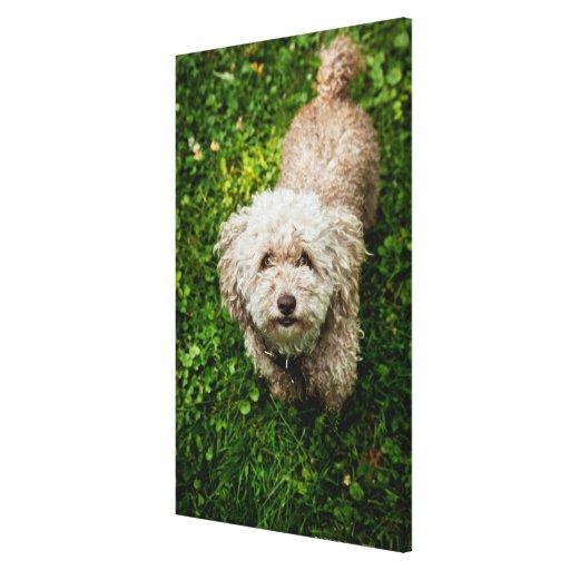 Pequeño perro que mira para arriba la cámara impresión en lienzo