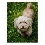 Pequeño perro que mira para arriba la cámara tarjetas postales