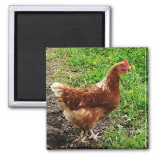 Pequeño pollo rojo - capa libre del huevo de la ga imán cuadrado