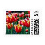Pequeño sello de los tulipanes 3
