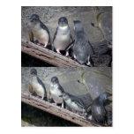 Pequeños pingüinos azules postal