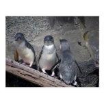 Pequeños pingüinos azules tarjeta postal