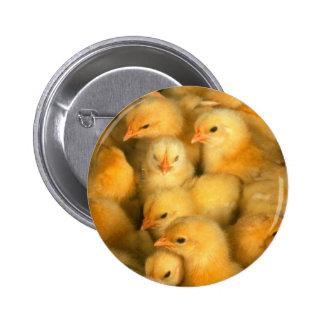 Pequeños polluelos amarillos pins