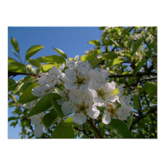 Pera Blossums Poster