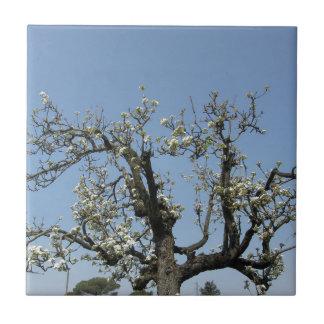 Peral con los flores contra el cielo azul azulejo cuadrado pequeño