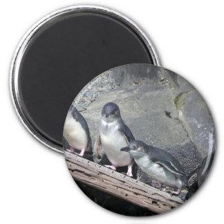 Perca del pingüino imán redondo 5 cm