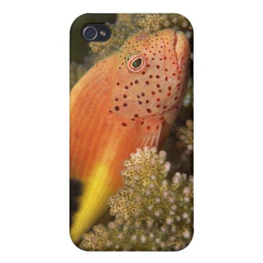 Percas pecosas de los hawkfish en corales pedregos iPhone 4 coberturas