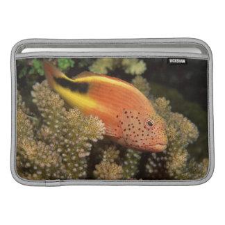 Percas pecosas de los hawkfish en corales pedregos funda para macbook air