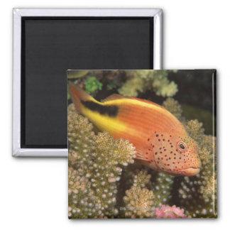 Percas pecosas de los hawkfish en corales pedregos iman de frigorífico