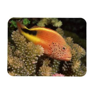 Percas pecosas de los hawkfish en corales pedregos iman