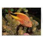 Percas pecosas de los hawkfish en corales pedregos felicitacion