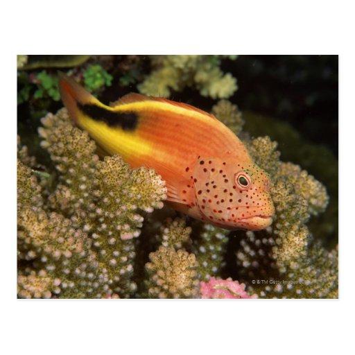 Percas pecosas de los hawkfish en corales pedregos tarjetas postales