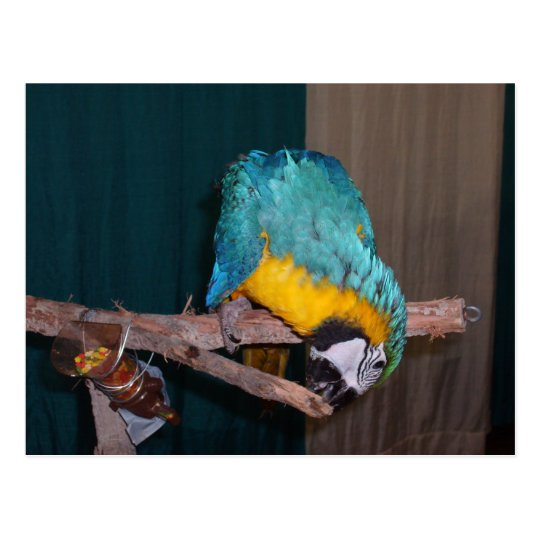 Perch Chewing Macaw Postcard