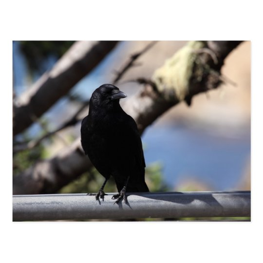 Perched Crow Postcard