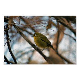 Perched little white eye bird posters