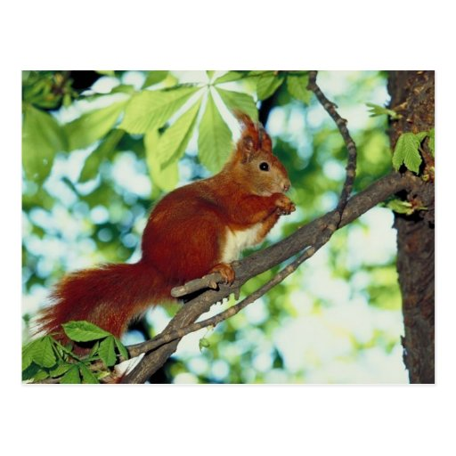 Perched Red Squirrel Postcard
