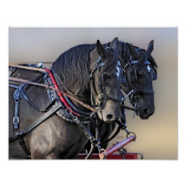 Percheron Draft Horse Work Team Poster