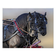 Percheron Draft Horse Work Team Posters