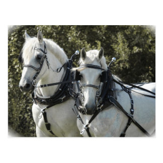 Percheron Team Postcard