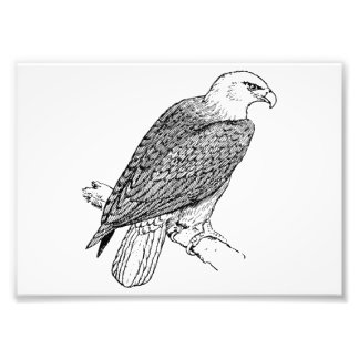 Perching American Bald Eagle Illustration Photograph