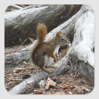 Perching Red Squirrel Square Sticker