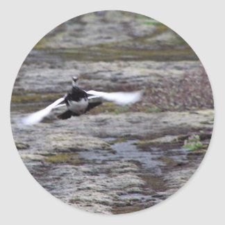 Perdiz nival de la roca de Evermann en vuelo Pegatina Redonda