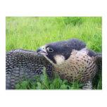 Peregine Falcon in Grass Postcard