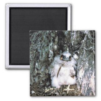 Peregrine Falcon Chick Magnets