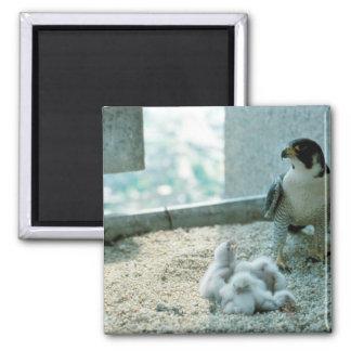 Peregrine Falcon Chicks, Female Refrigerator Magnet