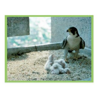 Peregrine Falcon Chicks, Female Postcard