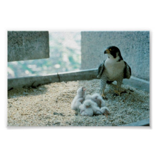 Peregrine Falcon Chicks, Female Poster