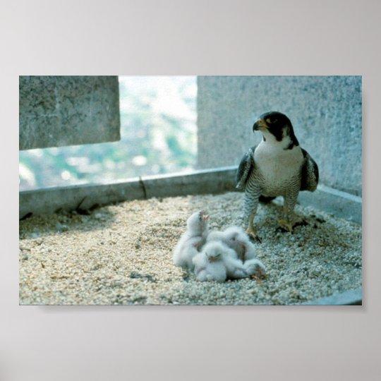 Peregrine Falcon Chicks, Female Poster